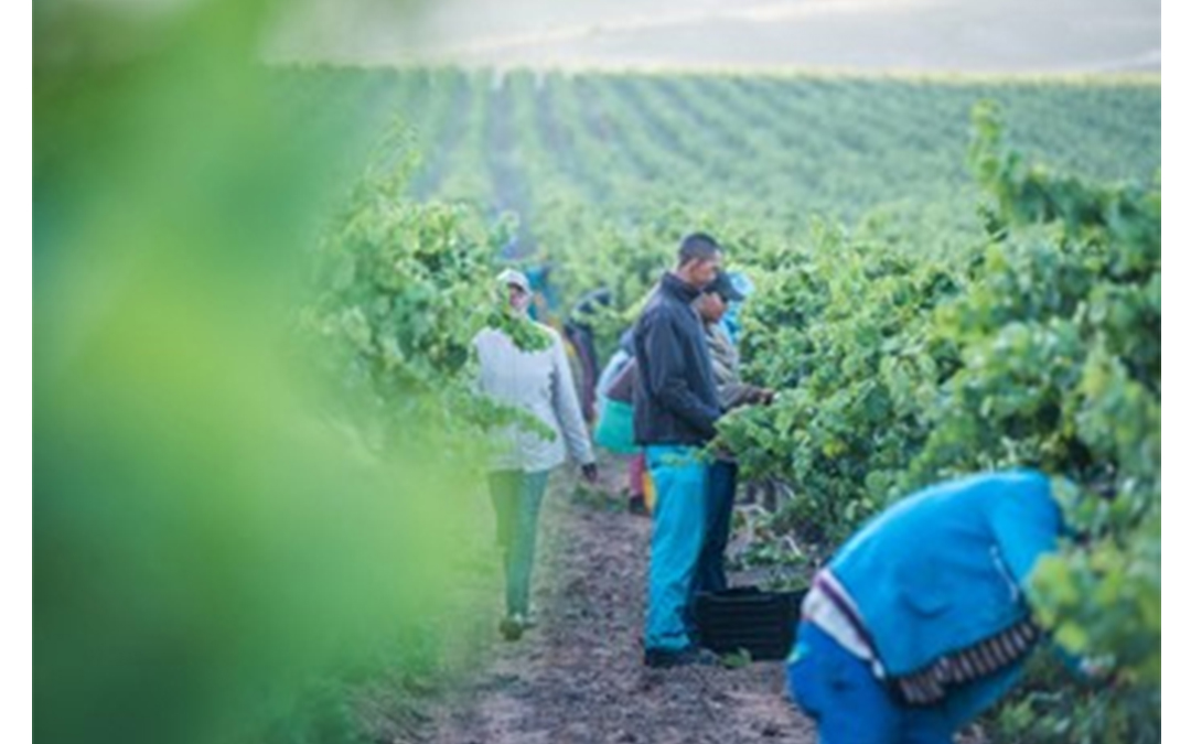 Cool Chardonnay Harvest on De Wetshof Sees Excellent Quality in Lower Yields